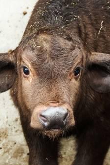 Pasgeboren Kaapse buffel en zwarte paardantilope maken het goed in Beekse Bergen