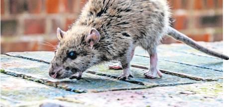 Groot onderzoek nodig naar bestrijding: 'Rattenplaag wordt groter in Nederland'