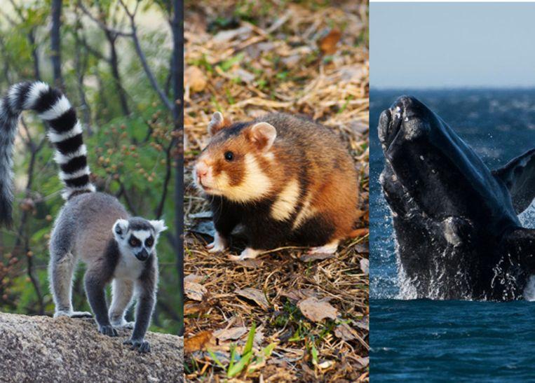 De maki, Europese hamster en Noordkaper staan op de Rode Lijst van bedreigde soorten.