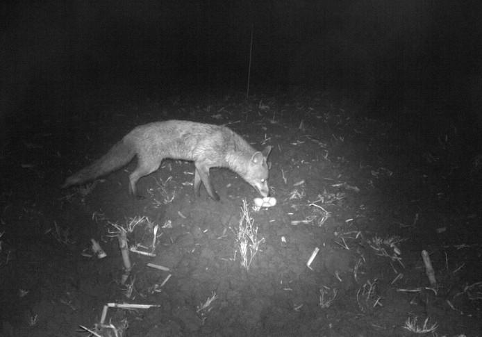 Een vos doet zich in het holst van de nacht tegoed aan eieren in het nest van een weidevogel.