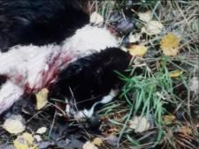 Un chien retrouvé mort dans le Limbourg, probablement tué par un loup