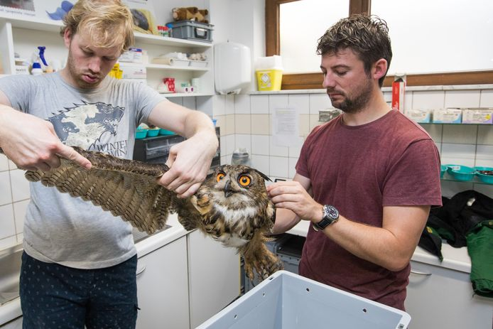 De oehoe kreeg nog verzorging in Oudsbergen.