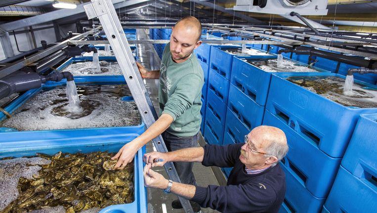 Vader en zoon Sam en Sybe Smit keuren hun oesters en de planktonkweek. Beeld Arie Kievit