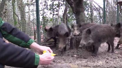 Agentschap Natuur en Bos krijgt doodsbedreigingen na doden zeven tamme everzwijnen in Natuurhulpcentrum