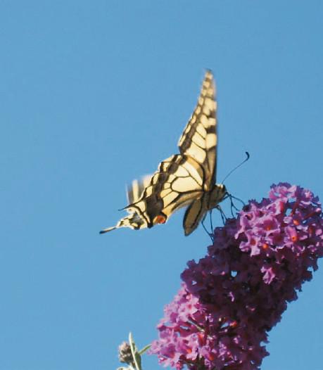 Het kan weer: tuinvlinders tellen. En met een beetje geluk spot je in Oost-Nederland de koninginnepage