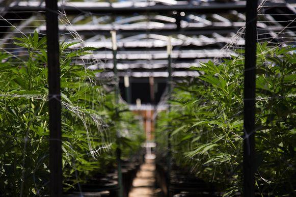 Illustratiebeeld van een cannabisplantage.