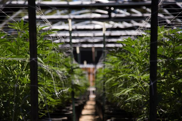 Archieffoto van een cannabisplantage.