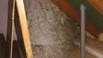 """Nederlandse ontdekt gigantisch wespennest op zolder: """"Daar leven minstens 12.000 wespen"""""""