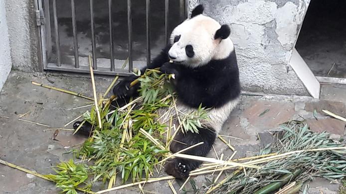 Panda Wu Wen, voor haar vertrek uit China.