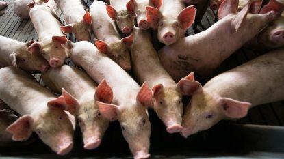 Varkenspestepidemie in China breidt verder uit: al 38.000 varkens afgemaakt