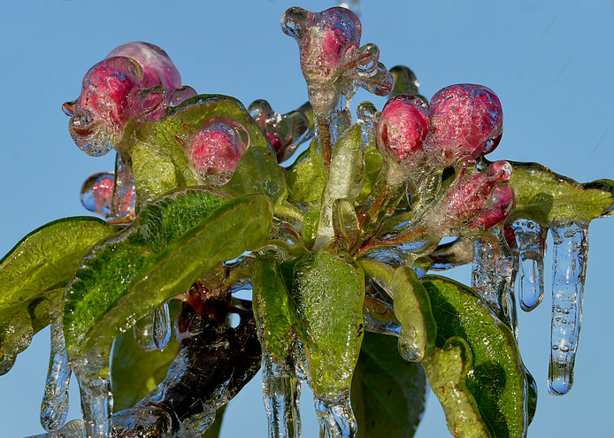 Fruittelers beregenden hun bloesem om vorstschade te voorkomen; het ijs beschermt de knop tegen de kou.