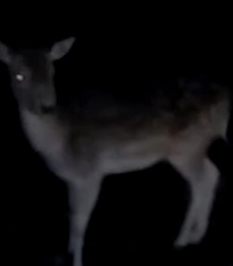 Hert graast langs de weg bij Hellendoorn: 'Van wie is deze dame?'