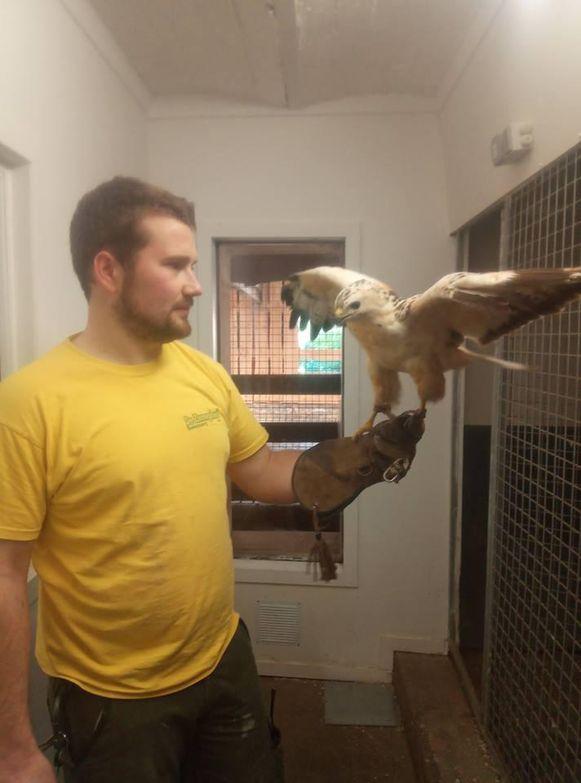 De roofvogel vertoeft momenteel in dierenopvangcentrum De Zonnegloed.