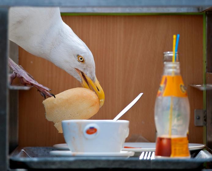 Een zilvermeeuw pakt een stuk brood uit een cateringkar
