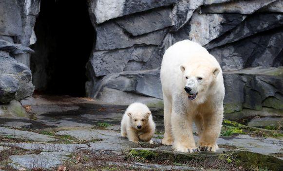 Tonja met haar welpje verlaten het overdekte deel van het ijsberenverblijf.