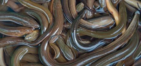 Vissers halen recordhoeveelheid paling binnen
