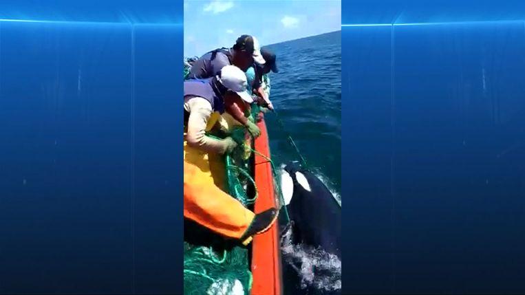 Peruaanse vissers redden orka uit hun netten.
