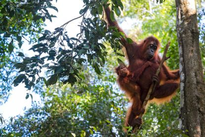 Palmolieleveranciers van snackgigant die uw favoriete koekjes maakt, vernietigden op 2 jaar tijd 25.000 hectare leefgebied van orang-oetans
