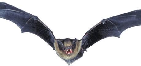 Vleermuis met rabiës gevonden