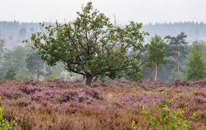 De heide kleurde recent mooi paars, mede dankzij de regen die de oppervlakkige bodemlaag op de Sallandse Heuvelrug voorziet van voldoende water.