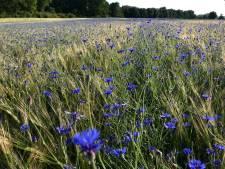 Korenbloemen maken van landgoed Haarzuilens een 'schilderij van Van Gogh'