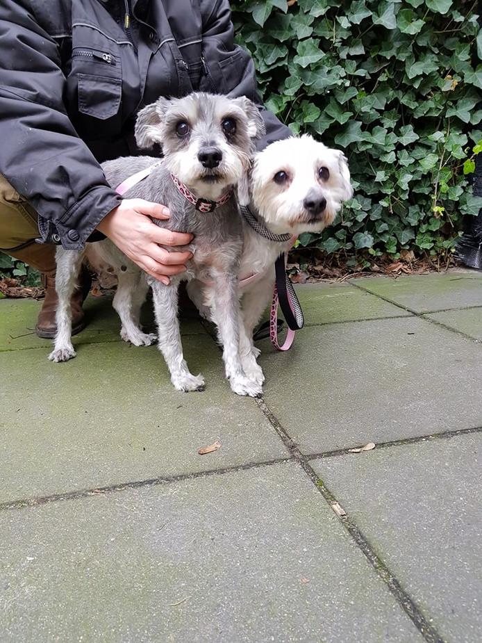 Voordat de hondjes naar hun nieuwe baasje gingen, kregen ze een flinke trimbeurt.