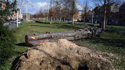 """Groene hart van 'bomenknuffelaar' Zeger Debyser (N-VA) bloedt: """"Alweer 14 grote kastanjes gekapt op Ruelensvest"""""""