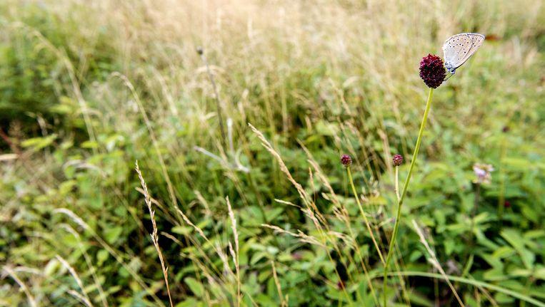 Een pimpernelblauwtje op een grote pimpernel in de graslanden. Beeld anp