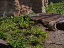 Berberapen in Apenheul nemen verkoelende douche onder de sproeier