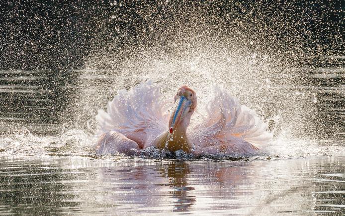 Ook in Nederland kun je exotische dieren spotten. Bijvoorbeeld deze roze pelikaan in Avifauna. Hij neemt een verfrissend bad.