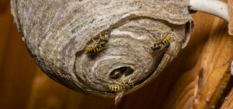 Un apiculteur en colère dépose 1.500 frelons asiatiques devant une mairie