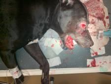 Politie heropent intern onderzoek naar door agenten mishandelde hond Tommy