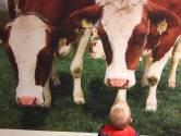 Kennismaken met de koeien