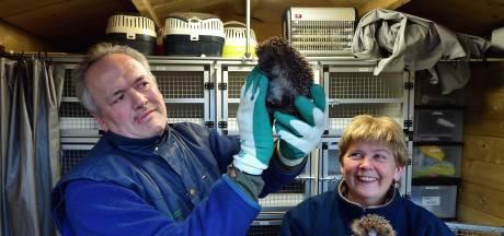 Conny en Dré vangen al twintig jaar egels op: 'De grootste beloning is een egeltje weer vrijlaten'