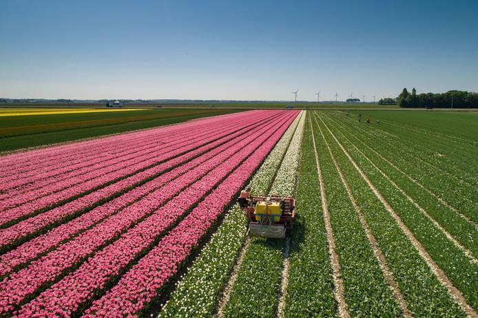De Tulpenroute Flevoland trok vorig jaar zo'n 50.000 bezoekers.