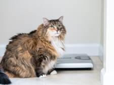 """6 chats sur 10 sont trop gros: """"L'obésité peut avoir des conséquences très dangereuses pour votre animal"""""""