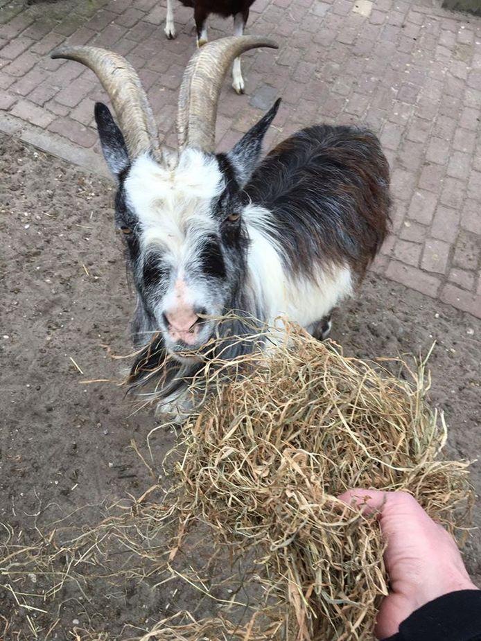 Kinderboerderij Otterspoor in Maarssenbroek verzoekt wandelaars van wijkpark Reigerskamp dringend om geen brood en koek meer over de hekken heen te gooien en de geiten en schapen te voeren.