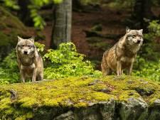 Pourquoi le loup tue-t-il des animaux qu'il ne mange pas?