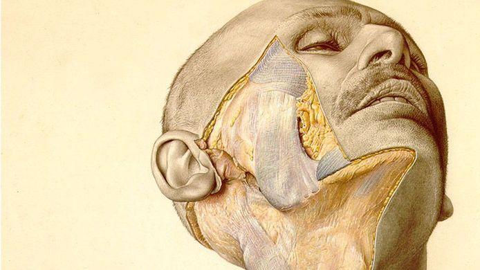 Illustratie uit 'Pernkopf Topographic Anatomy of Man'.