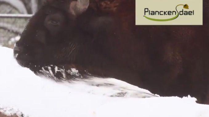 Dieren genieten van de sneeuw in Planckendael
