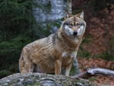 Directeur De Hoge Veluwe wil dat afschieten van wolf mogelijk wordt