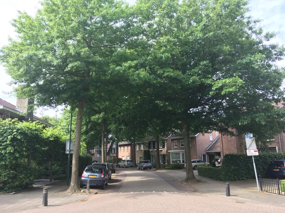 De Hei-akker in Kaatsheuvel staat nu nog vol moeraseiken. Binnenkort wil de gemeente deze bomen kappen.