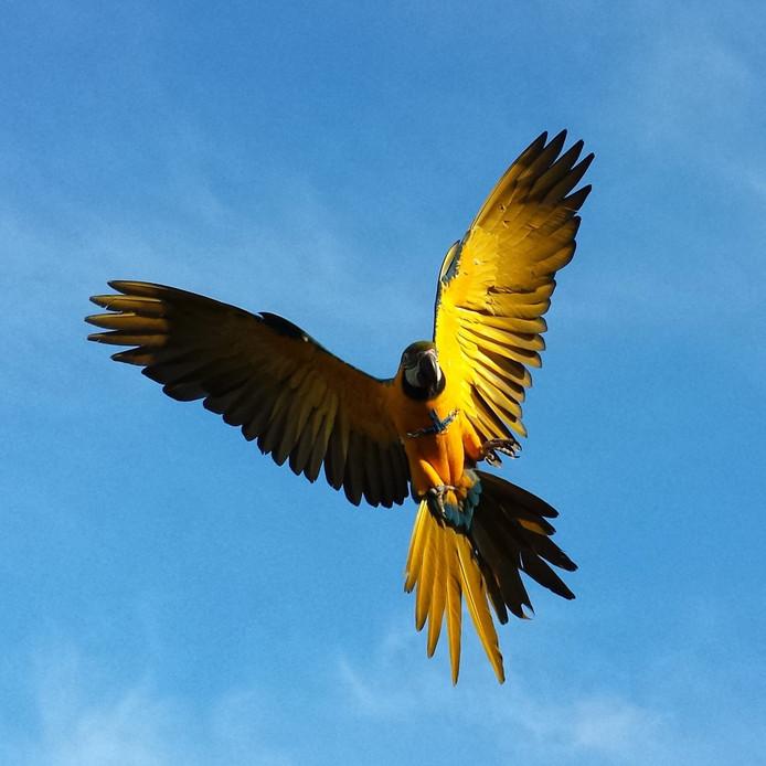 Papegaai Rambo was speciaal opgeleid om vrij rond te vliegen.
