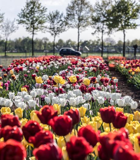 Bonte kleurenpracht op bollenveld in Wageningen