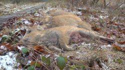 VIDEO. Grote everzwijnenjacht gehouden in Meerdaalwoud bij Leuven