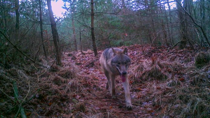 Jonge wolf op noord-Veluwe, onlangs vastgelegd door de camera van wolvermonitoring.