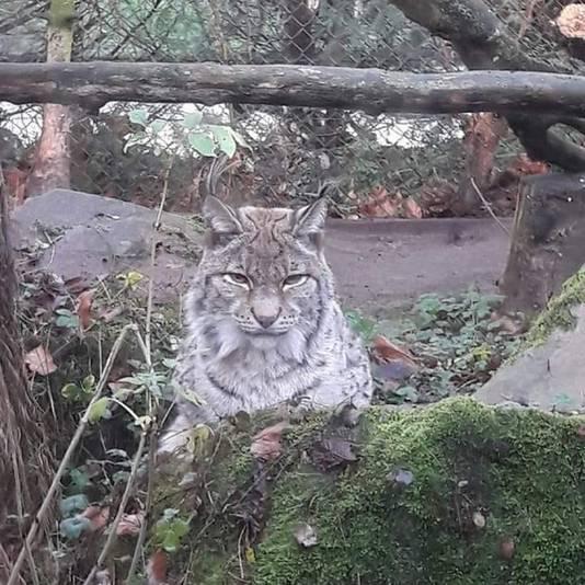 In overleg is besloten om lynx Kyra in te laten slapen.