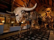 Daar is 'ie dan: de grote grazer uit de IJstijd is nu te bewonderen in Historyland