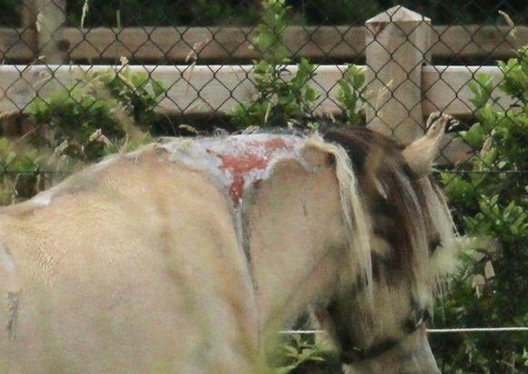 Fjordenmerrie Micha (31) werd overgoten met een bijtend product op de rug en in de hals.