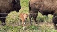 Bizonboerderij Tatanka verwelkomt eerste bizonkalfje